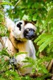 Lémur de Sifaka dans le feuillage vert Image stock