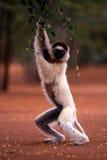 Lémur de Sifaka de Verreaux Photographie stock libre de droits