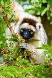 Lémur de Sifaka mangeant des fleurs sur l'arbre Images libres de droits