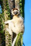 Lémur de Sifaka que se aferra en la más forrest espinoso Imagen de archivo libre de regalías