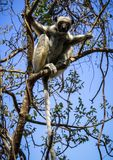 Lémur de Sifaka, reserva de naturaleza de Tsingy de Bemaraha Strict, Melaky, Bekopaka, Madagascar Foto de archivo libre de regalías