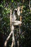 Lémur de Sifaka, reserva de naturaleza de Tsingy de Bemaraha Strict, Melaky, Bekopaka, Madagascar Fotografía de archivo