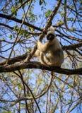 Lémur de Sifaka, reserva de naturaleza de Tsingy de Bemaraha Strict, Melaky, Bekopaka, Madagascar Imagenes de archivo
