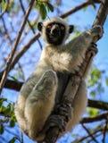 Lémur de Sifaka, reserva de naturaleza de Tsingy de Bemaraha Strict, Melaky, Bekopaka, Madagascar Fotos de archivo libres de regalías