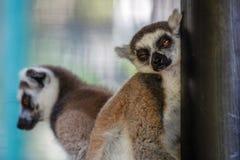 Lémur de sommeil Zoo de Bali l'indonésie photo libre de droits