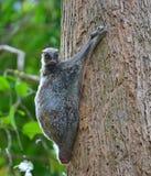 Lémur de vol Photographie stock libre de droits