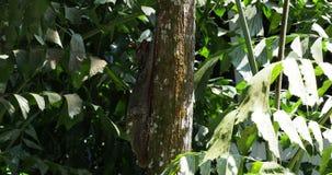 Lémur de vuelo de Sunda - variegatus de Galeopterus o colugo de Sunda o colugo malayo del lémur que vuela o malayo almacen de metraje de vídeo