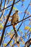 Lémur del árbol Foto de archivo libre de regalías