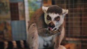 Lémur del primer con interés que come un plátano en el zoo-granja almacen de video