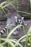 Lémur distraído fotos de archivo