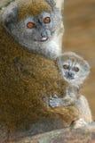 Lémur doux d'Alaotra de laque Photographie stock libre de droits