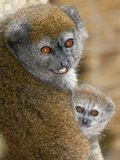 Lémur doux d'Alaotra de laque Image stock