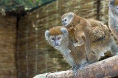Lémur doux d'Alaotra de laque Image libre de droits