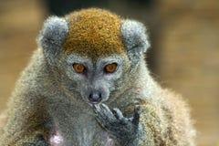 Lémur doux d'Alaotra de laque Images libres de droits