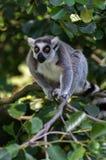 Lémur drôle avec de grands yeux sur l'arbre Images stock