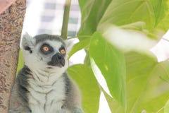 Lémur du Madagascar, yeux oranges lumineux, regard fixe vigilant intense, jungle verte de feuillage derrière l'animal posé images libres de droits