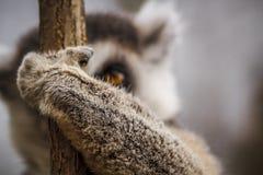Lémur en árbol Imagenes de archivo