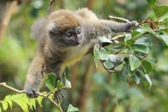Lémur en bambou gris Images stock