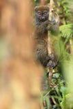 Lémur en bambou oriental Image libre de droits