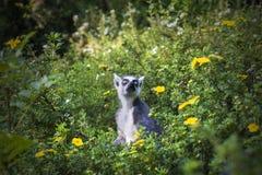 Lémur en campo de flor Foto de archivo