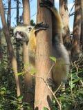 Lémur en el árbol 3 fotografía de archivo