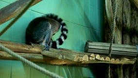 Lémur en el interior de la jaula del parque zoológico almacen de video