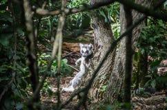 Lémur en el Sun Foto de archivo libre de regalías