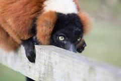 Lémur en la cerca Fotos de archivo libres de regalías