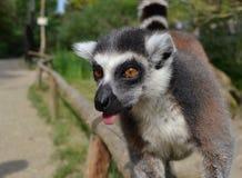 Lémur en PARQUE ZOOLÓGICO Imágenes de archivo libres de regalías