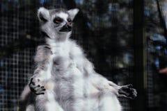 Lémur en position de yoga Photographie stock