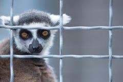Lémur en una jaula fotografía de archivo libre de regalías