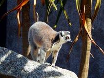 Lémur fixé sur quelque chose Photos stock
