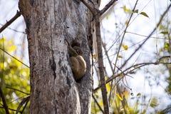 Lémur folâtre d'Ankaran de nuit, ankaranensis de Lepilemur, un de la réservation endémique Ankarana, le Madagascar images stock