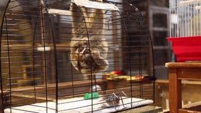Lémur gran Lorri en una jaula en el zoo-granja almacen de metraje de vídeo