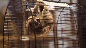 Lémur gran Lorri en una jaula en el zoo-granja almacen de video