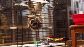 Lémur gran Lorri en una jaula en el zoo-granja metrajes