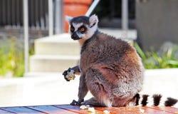 Lémur hambriento de la consumición Imagen de archivo libre de regalías