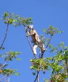Lémur KATA Fotos de archivo