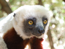 Lémur lindo Parque nacional, Madagascar Fotos de archivo libres de regalías