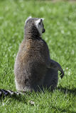 Lémur méditant Tiré par derrière De retour d'un animal se reposant dedans Photos stock