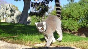 Lémur Madagascar que camina en la hierba y el salto almacen de video