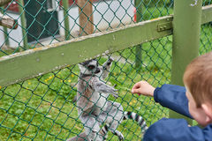 Lémur mangeant de la main Photographie stock libre de droits