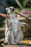 Lémur mangeant la carotte dans le zoo image libre de droits