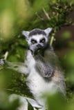 Lémur mangeant un leef parmi les branches Images libres de droits