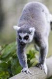 Lémur marchant le long d'une position de montée d'identifiez-vous Images stock