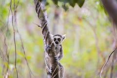 Lémur mignon drôle de bébé sur une branche d'arbre photos libres de droits