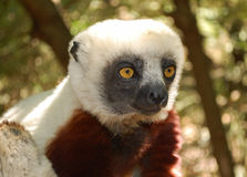 Lémur mignon en parc national Images stock