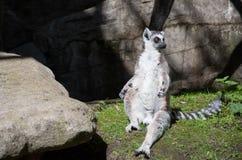Lémur mignon sunbating sur l'herbe Photo stock