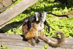 Lémur negro, Eulemur m macaco, femenino con los jóvenes Imagenes de archivo