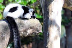 Lémur negro y blanco Imagen de archivo